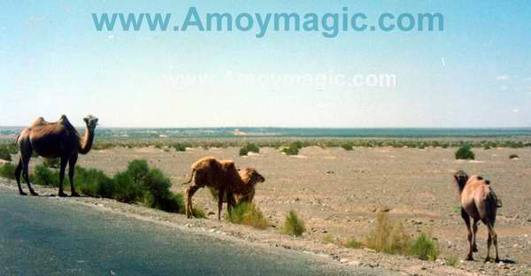 These camels were on the side of the Qinghai highway; no people were in sight, so perhaps they were wild?