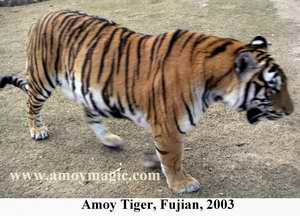 Photo of Amoy Tiger, Meihua Mountain, Fujian, China, 2004, by Bill Brown