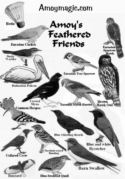 Drawings of Xiamen birds, including buzzard, blue-breasted quail, barn swallow, blue and white flycatcher, blue whistling thrush, common hoopoe, crested myna, Eurasian Marsh Harrier, brown hawk owl, Eurasian sparrow hawk,, dusky warbler, dalmatian pelican, dusky warbler, Eurasian cuckoo, Eurasian sparrow hawk, badminton birdie, deng deng