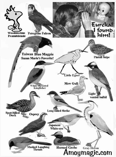 More Drawings of Xiamen birds (Fujian, China), including peregrine falcon, Taiwan blue magpie, little egret, pintail snipe, mew gull, light vented bulbil, long-tailed shrike, spot-billed duck, osprey, Japanese white-eye, horned grebe, gray heron, masked laughing thrush, deng deng.  Amoy Magic--Guide to Xiamen and Fujian, China  http://www.Amoymagic.com Xiamen and Fujian tourism, travel, business, investment, trade, cuisine, history, culture, Chinese humor and jokes, language study, Xiamen University, MBA, expatriate, research, deng deng!