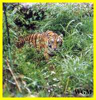 majestic South China tiger ( Amoy Tiger) in Fujian Province's Meihua Mountain Nature Reserve