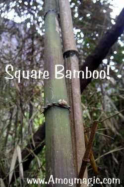 Square Bamboo!  Yes, it really does exist in Wuyi Mountain, Fujian Province--and also in Ningde's Taimu Mountain (northeast Fujian)